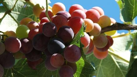 庭院葡萄种植技术